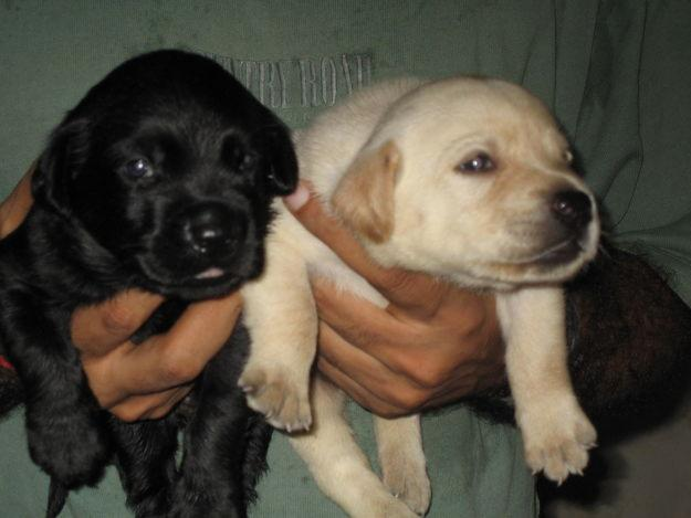 Boxer Dog Puppies For Sale In Delhi